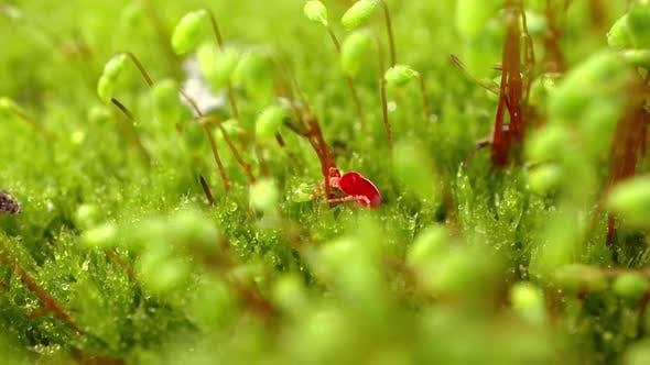 Thumbnail for Trombidiidae, Known As Red Velvet Mites, True Velvet Mites, or Rain Bugs