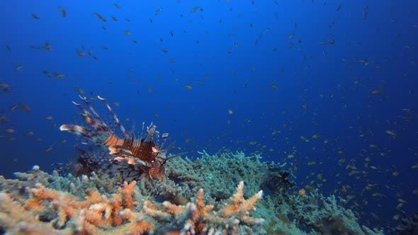 Thumbnail for Tropical Seascape Colorful Lionfish
