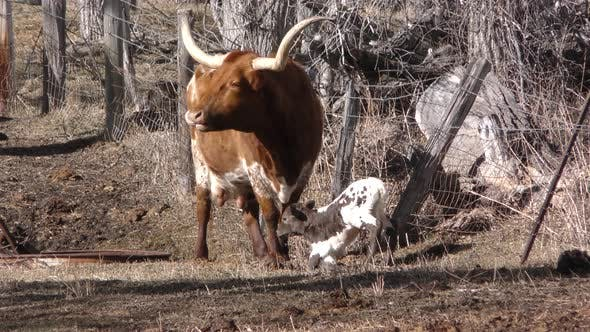 Longhorn Cattle Cow Female Adult Calf Pair in Winter Livestock Breed Ranching