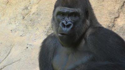 Gorilla Eating in a Natural Park