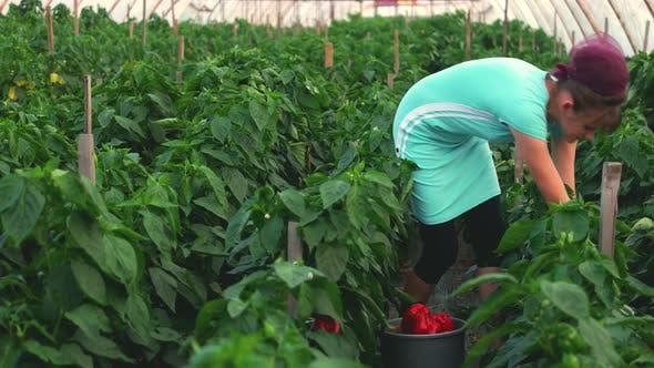 Female Worker Picking Peppers at Greenhouse