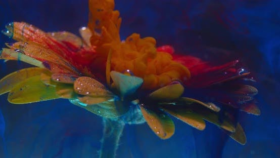 Thumbnail for Colorful Art, Orange Ink Is Dropping Down and Flowing on a Flower Under Water