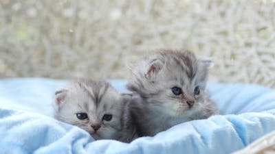Close Up Of Scottish Kittens Sitting On Bed