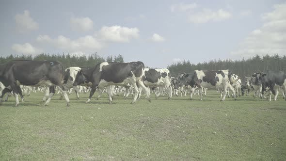 Thumbnail for Cow. Cows in a Pasture on a Farm.