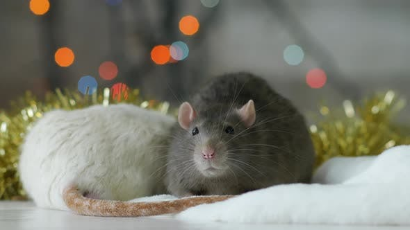 Thumbnail for Portrait of Gray Rat with Sparkling Lights at The Background