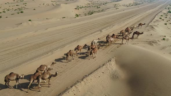 Thumbnail for Aerial view of a group of camels walking in the desert, U.A.E.