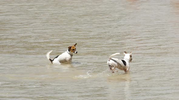 Thumbnail for Jack Russell Terrier Dogs on the Beach