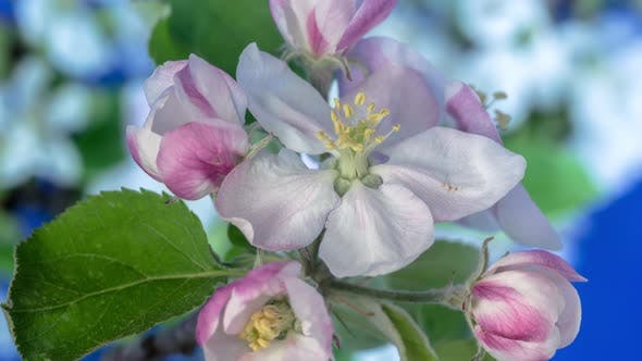 Thumbnail for Apple Blossom Timelapse on Blue