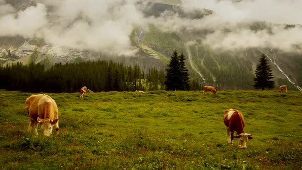 Thumbnail for Cows Eating Grass in Mountain Alps Landscape