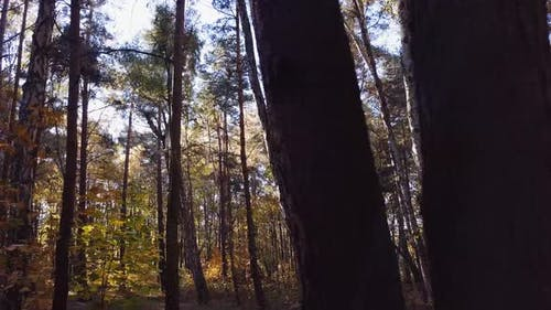 Panning Slowly Through a Pine Forest. Autumn Scenery. 4K shot.