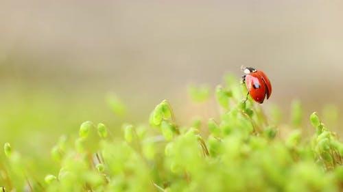 Крупным планом дикая природа Божьей коровки в зеленой траве в лесу