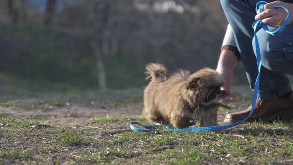 Lovely Dog with Fluffy Fair Brown Fur Walks Near Owners Legs