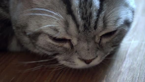 Sleepy Scottish Cat Background 4k