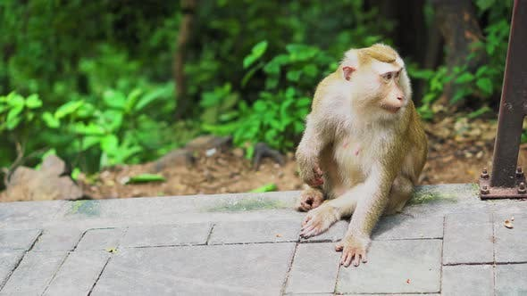 Thumbnail for the monkey sits in a park in the forest. natural habitats. animals in the wild