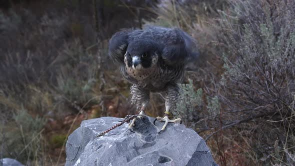 Thumbnail for Tethered peregrine falcon perched on a rock