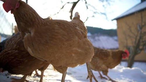 Chicken in Organic Farm Yard with Free Range in Sunny Winter