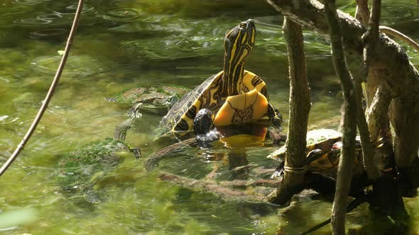Thumbnail for Sea Turtle with its Baby Swimming in the Cenote in Mexico