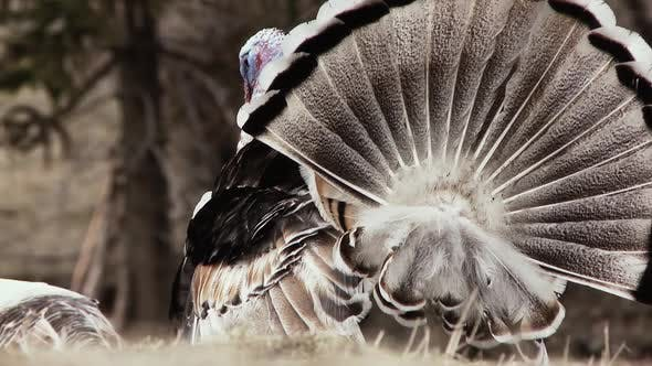 Thumbnail for A Male Wild Turkey in full strutting display.