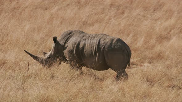 Thumbnail for Southern White Rhino walking in grass at wildlife park
