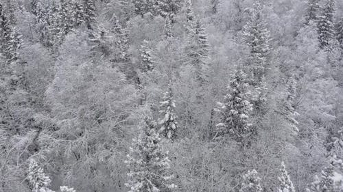 Aerial Flight Over Beautiful Frozen Forest with Snow Covered Pine Trees