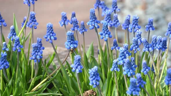 Thumbnail for Flowers of a Grape Hyacinth, Muscari Botryoides