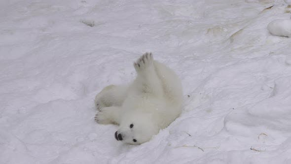 Thumbnail for A Polar Bear Cub Rests And Plays In A Snow