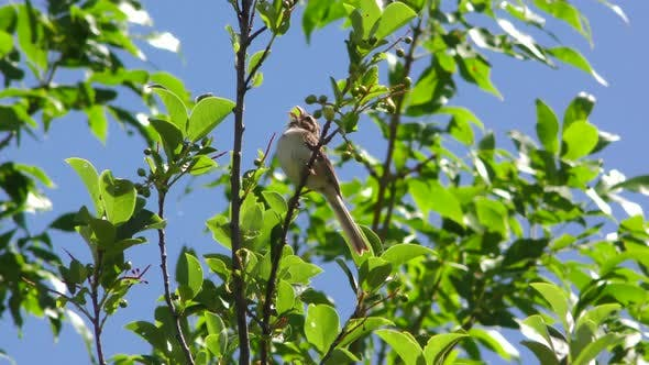Thumbnail for Clay-colored Sparrow Bird Perched on Tree Branch in Summer Looking Around