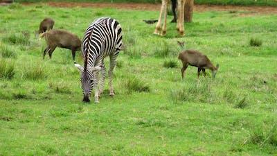 zebra grazing on a green grass
