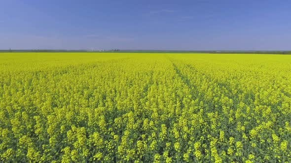 Thumbnail for Canola Rapeseed Field. Aerial Drone Shot.