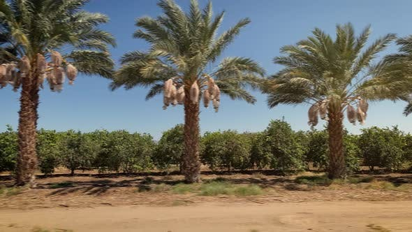 Thumbnail for Driving past a row of Date Palm trees