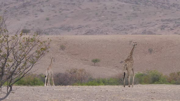Mother and baby giraffe walking on the savanna of Orupembe in Namibia