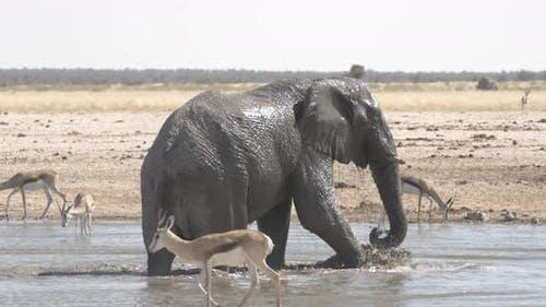 Huge African Elephant Bathing