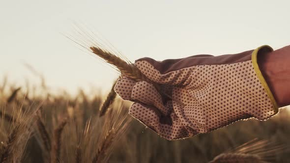 Thumbnail for Farmer Hand Holding Wheat Ear at Sunset