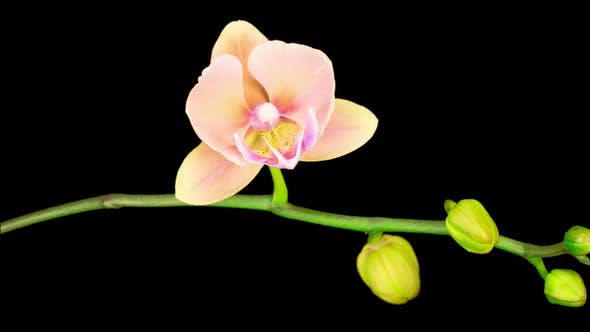 Thumbnail for Blooming Peach Orchid Phalaenopsis Flower