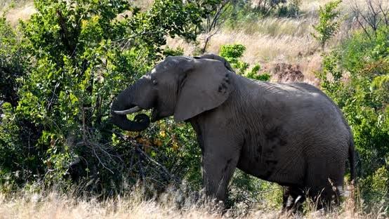 Thumbnail for Elephant in Pilanesberg, South Africa wildlife safari.
