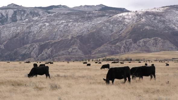 Thumbnail for Cattle Herd Grazing in Autumn Livestock Ranching Agriculture Rocky Mountains