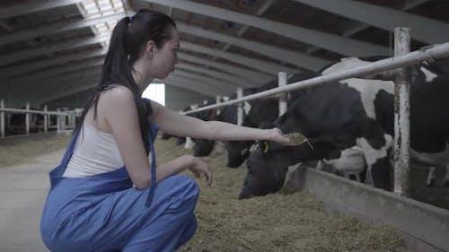 Junge positive weibliche Arbeiter auf der Kuhfarm versuchen, das Säugetier von Hand zu füttern