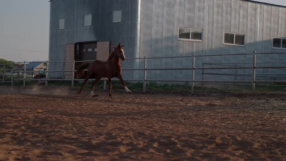 Horse Breeding and Training for Racing Stallion Is Running
