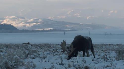 Moose Bull Adult Lone Eating Feeding in Winter Dawn Morning in Grand Teton National Park Wyoming