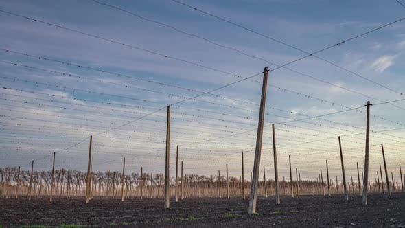 Thumbnail for Pillars for the Growth of Hops at Sunset