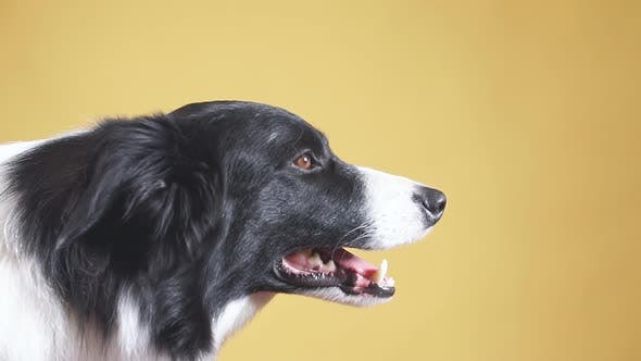 Thumbnail for Profile of Lovely Breed Dog