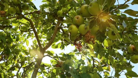 Thumbnail for Apple Tree in Bright Sunlight