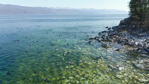 Seal Nerpa Swim on Coast of Freshwater Lake Baikal Aerial Drone View