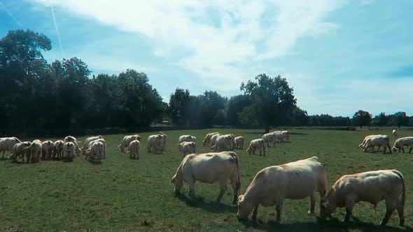 Cover Image for White Cows Graze 2