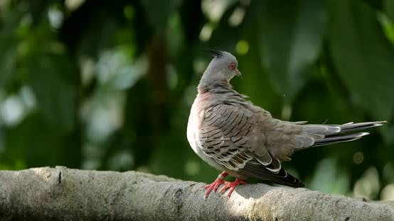 Thumbnail for Pink neck green pigeon in the zoo park