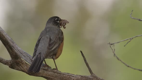 Thumbnail for Robin Adult Lone Predation Kill Capture Carrying in Spring Many Worms Mouthful