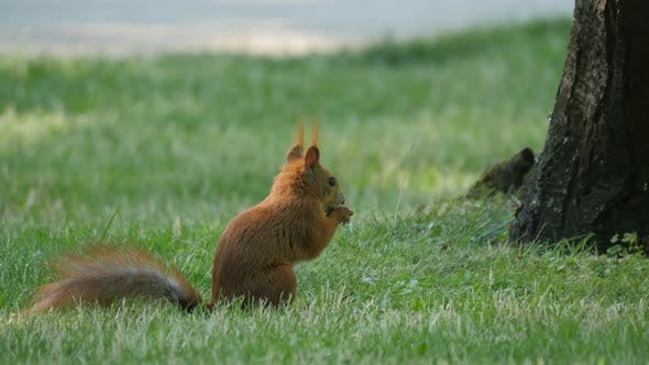 Squirrel eating in the grass