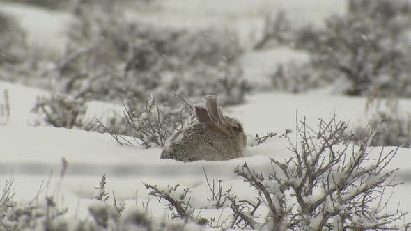 Thumbnail for Desert Cottontail Adult Lone Resting Looking Around in Winter in Wyoming