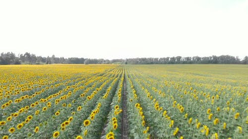Golden sunflowers.