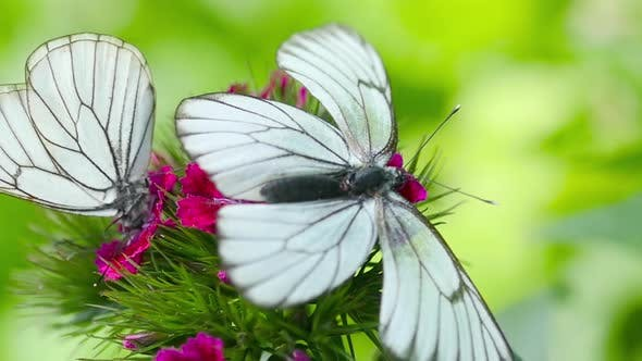 Thumbnail for Black Veined White Butterfly